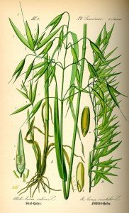 Illustrazione Avena Sativa